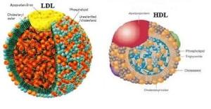 LDL y HDL y los dos transportan colesterol